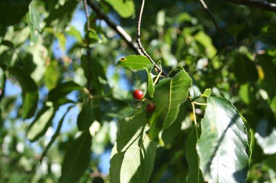 Persimmon Tree 6-7